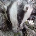 image badger_03-jpg