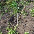 image planting2006_43-jpg